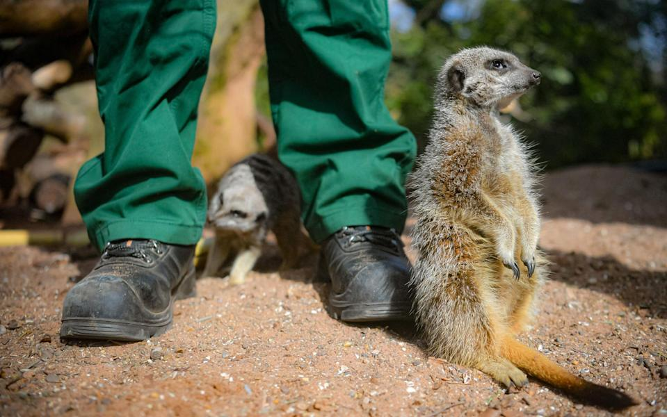 As is the meerkat, no doubt - PA