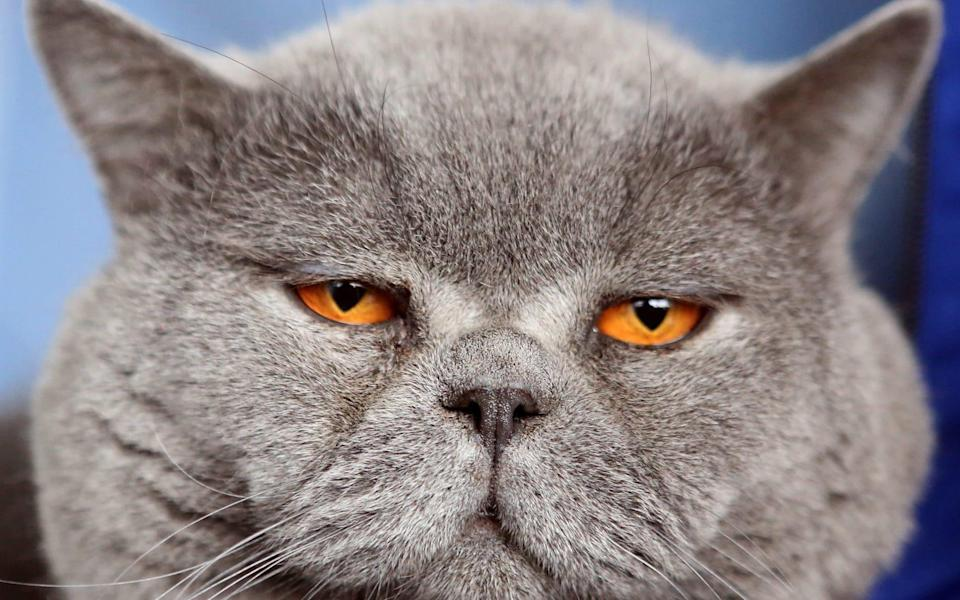 Cats with behavioural problems may have picked up anxiety from their owners, a new study shows - IGOR KOVALENKO