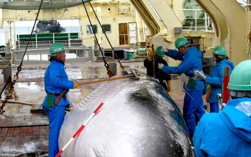 Amink whale on the deck of Japanese whaling ship - AP