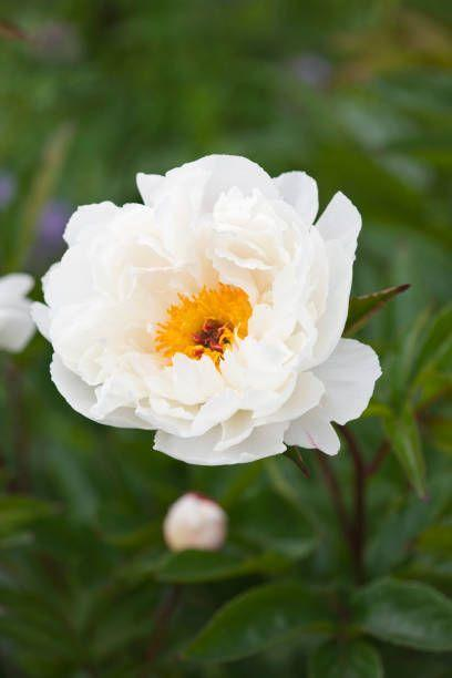 """<p>So many peonies, so little time! This shrubby perennial plant with glossy, dark green foliage has lush scented flowers that rule all the others in the garden in May and early June. The ants which visit the flowers aren't pests; they're sipping the nectar. Peonies prefer full sun. </p><p><a class=""""link rapid-noclick-resp"""" href=""""https://www.amazon.com/SPECIAL-SALE-Duchess-Nemours-Peony/dp/B07HFPHK9Y/ref=sr_1_13_sspa?dchild=1&keywords=peony+plant+live&qid=1612546584&s=lawn-garden&sr=1-13-spons&psc=1&spLa=ZW5jcnlwdGVkUXVhbGlmaWVyPUEzTjdKUTFJOFJXSTJaJmVuY3J5cHRlZElkPUEwMzA3MzgyM0FDQ1ZIRzFSRDQwSyZlbmNyeXB0ZWRBZElkPUEwODQyNDI3UDlaTE83RVJKT00yJndpZGdldE5hbWU9c3BfbXRmJmFjdGlvbj1jbGlja1JlZGlyZWN0JmRvTm90TG9nQ2xpY2s9dHJ1ZQ%3D%3D&tag=syn-yahoo-20&ascsubtag=%5Bartid%7C10063.g.35507259%5Bsrc%7Cyahoo-us"""" rel=""""nofollow noopener"""" target=""""_blank"""" data-ylk=""""slk:SHOP PEONIES"""">SHOP PEONIES</a></p>"""