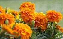 """<p>Marigolds contain pyrethrum, an <a href=""""https://www.yorkcounty.gov/DocumentCenter/View/729/Mosquito-Repellant-Plants-Guide-PDF"""" rel=""""nofollow noopener"""" target=""""_blank"""" data-ylk=""""slk:insecticidal compound"""" class=""""link rapid-noclick-resp"""">insecticidal compound</a> that's used in bug repellents. There isn't a ton of research on the effects of marigolds on insects, but gardeners have long sworn by them to keep annoying pests, like mosquitoes and <a href=""""https://www.ncbi.nlm.nih.gov/pmc/articles/PMC3593261/"""" rel=""""nofollow noopener"""" target=""""_blank"""" data-ylk=""""slk:destructive nematodes"""" class=""""link rapid-noclick-resp"""">destructive nematodes</a>, at bay. These annuals, while gorgeously vibrant, have an off-putting smell that many bugs (and people!) don't seem to like. Try using them to create a pretty border around your patio, or place potted marigolds near common entryways, like doors and windows. (Just keep arrangements away from tables, where they may attract <a href=""""https://www.prevention.com/life/a32389815/bee-vs-wasp-vs-hornet-difference/"""" rel=""""nofollow noopener"""" target=""""_blank"""" data-ylk=""""slk:bees and wasps"""" class=""""link rapid-noclick-resp"""">bees and wasps</a>!)</p>"""