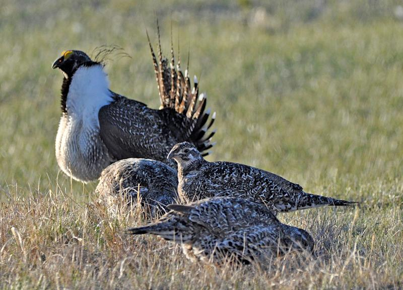 This March 1, 2010 photo released by the U.S. Fish and Wildlife Service shows a bistate distinct population of the greater sage grouse, rear, as he struts for a female at a lek, or mating ground, near Bridgeport, Calif. (Photo: Jeannie Stafford/U.S. Fish and Wildlife Service via AP)