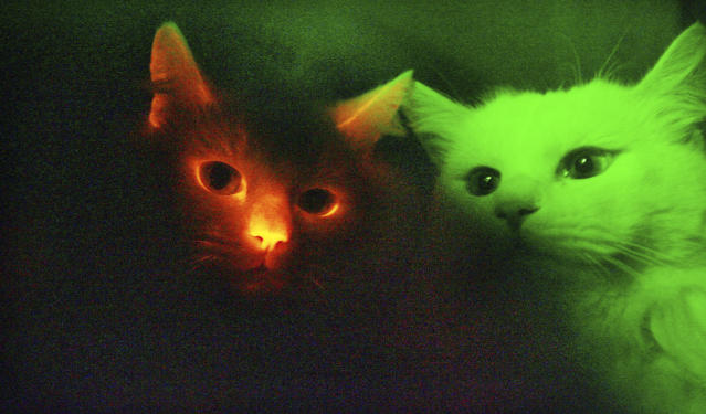 This picture taken through a special filter in a dark room shows, a cat, left, possessing a red fluorescent protein that makes the animal glow in the dark when exposed to ultraviolet rays, appearing next to a normal cloned cat, right, at Gyeongsang National University in Jinju, south of Seoul, South Korea, Wednesday, Dec. 12, 2007. South Korean scientists have cloned cats that glow red when exposed to ultraviolet rays, an achievement that could help develop cures for human genetic diseases, the Science and Technology Ministry said. (AP Photo/ Yonhap, Choi Byung-kil)