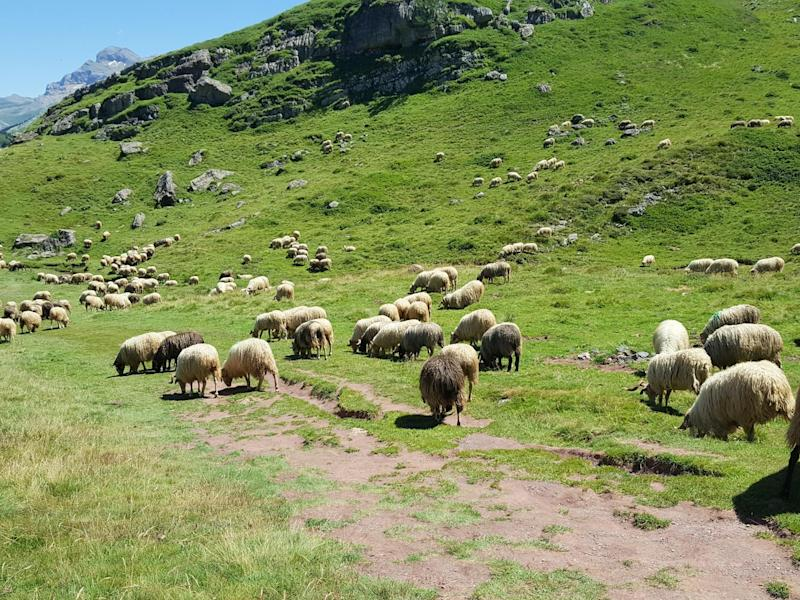 Too many sheep in Wales to aim for net zero emissions, Climate Change Committee says