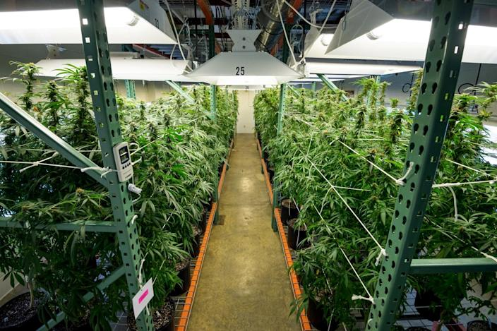 Image; Indoor cultivation of marijuana at the University of Mississippi. (University of Mississippi)