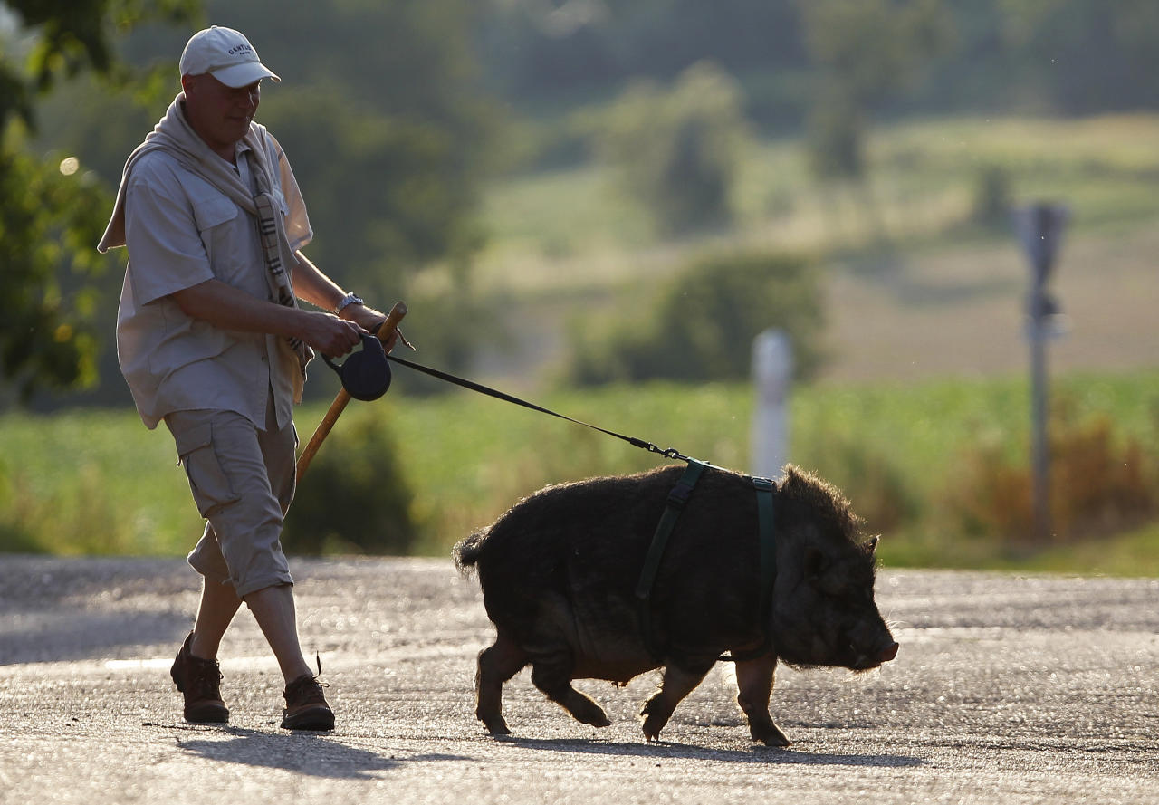 Christophe Lutz walks Marcel, a 30 month-old pig-wild boar crossbreed in the small village of Kolbsheim near Strasbourg, August 10, 2012. Marcel, an offspring of a sow and a wild boar, was raised by Christophe and his wife Chloe when he was 3 months-old, and neglected by its mother. REUTERS/Vincent Kessler (FRANCE  - Tags: ANIMALS SOCIETY)