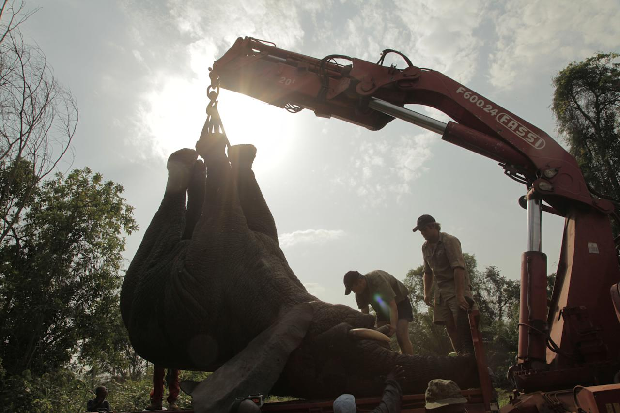 In this photo taken Monday, Jan. 20, 2014 and distributed by the International Fund for Animal Welfare, a tranquilized elephant is loaded on a truck near the town of Daloa in western Ivory Coast. Conservationists are capturing and relocating elephants in Ivory Coast forced out of their traditional habitat by encroaching humans, in the first such operation attempted in Africa's forests. The International Fund for Animal Welfare this week began tranquilizing elephants outside the western town of Daloa, then locking them in a crate for the 10-hour drive to Assagny National Park on the southern coast. (AP Photo/IFAW)