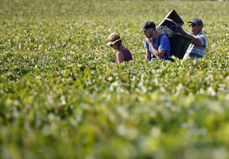 FILE PHOTO: Pickers walk in the middle of black grapes crops during harvest at the Chateau Haut-Brion vineyard in Pessac, near Bordeaux