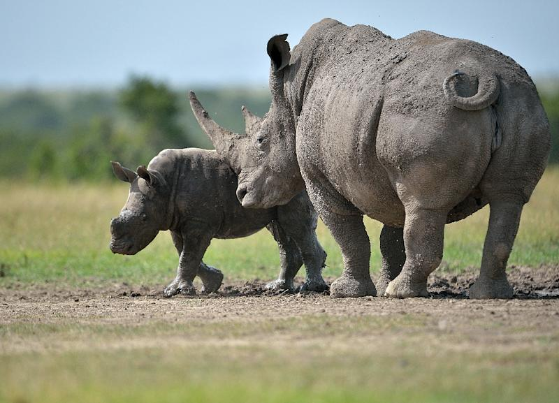 """Rhinoceros and elephants are seen as the """"charismatic"""" species that draw attention to the problem of poaching but are also the animals most targeted by poachers"""
