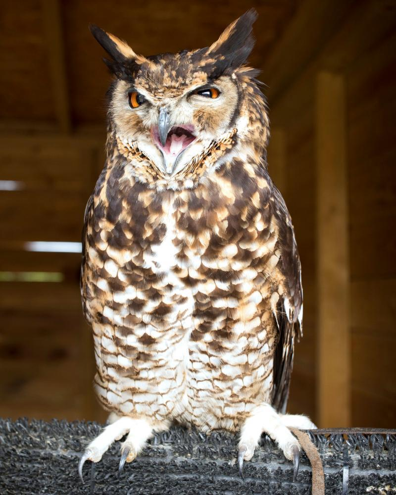 Bailey, a four-year-old African eagle owl at the Hawking Centre.