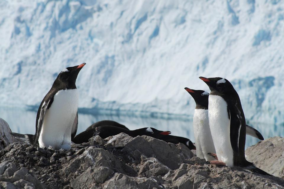 Three penguins stood on a rock in front of a wall of ice