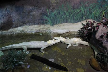 """Male albino caiman alligator called """"Bino"""" relaxes in the water next to a female after receiving acupuncture treatment at Sao Paulo aquarium in Sao Paulo"""