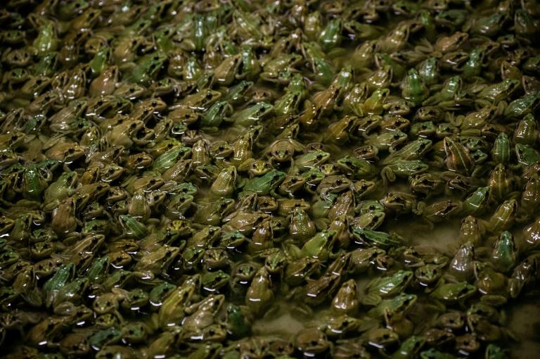 French frog farmers jump to meet restaurant demand