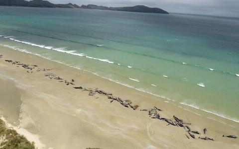 <span>Around 145 pilot whales died in a mass stranding on a beach on Stewart Island</span> <span>Credit: Reuters </span>