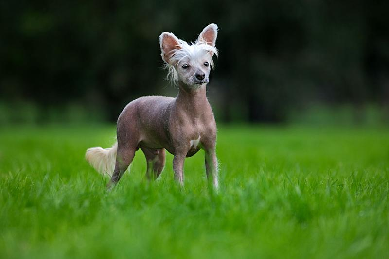 A Chinese crested dog in a garden. | Arterra—Universal Images Group/Getty Images