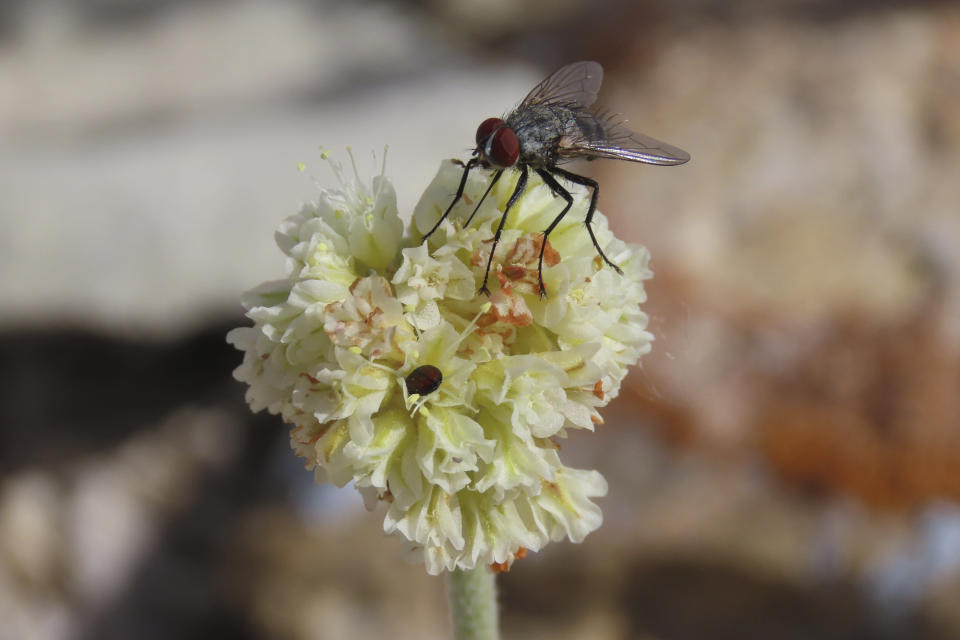 In this provided by Patrick Donnelly and the Center for Biological Diversity, a fly and a beetle rest on Tiehm's buckwheat, a rare wildflower, in the Nevada desert on May 29, 2021. The U.S. Fish and Wildlife Service said Thursday, June 3, 2021, an extremely rare wildflower that grows only in Nevada's high desert where an Australian mining company wants to dig for lithium should be protected under the Endangered Species Act. The agency outlined its intention to propose listing Tiehm's buckwheat as a threatened or endangered species in a court-ordered, finding of its overdue review of a listing petition conservationists filed in 2019. (Patrick Donnelly/Center for Biological Diversity via AP)