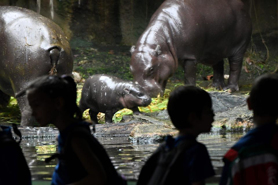 A baby pygmy hippopotamus looks on with its parents inside its enclosure at the Singapore Zoological Garden on January 11, 2018. The Wildlife Reserves Singapore's Jurong Bird Park, Night Safari, River Safari and Singapore Zoo have reported some 540 animal births and hatchings in 2017, a quarter of them from threatened species, as wildlife parks continue conservation breeding efforts. / AFP PHOTO / Roslan RAHMAN        (Photo credit should read ROSLAN RAHMAN/AFP via Getty Images)