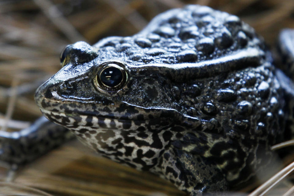 """FILE - In this Sept. 27, 2011, file photo, is a gopher frog at the Audubon Zoo in New Orleans. Federal wildlife officials are proposing limits on what can be declared as """"habitat"""""""" for imperiled plants and animals. The proposal to be announced Friday, July 31, 2020, and obtained in advance by The Associated Press would for the first time define """"habitat"""" for purposes of enforcing the Endangered Species Act, the landmark law that has undergirded species protections efforts in the U.S. since 1973. (AP Photo/Gerald Herbert, File)"""