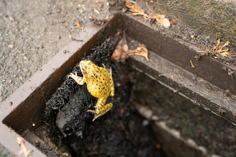 A common frog is seen climbing out of a drain using an 'amphibian ladder' designed by the British Herpetological Society to help frogs, toads, salamanders and newts escape roadside gully pots.