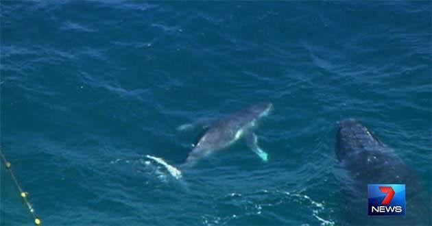 The trapped calf was reunited with its mother after the dramatic rescue. Photo: 7News