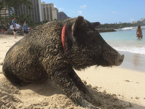 This surfing pig will be your latest Instagram pet obsession