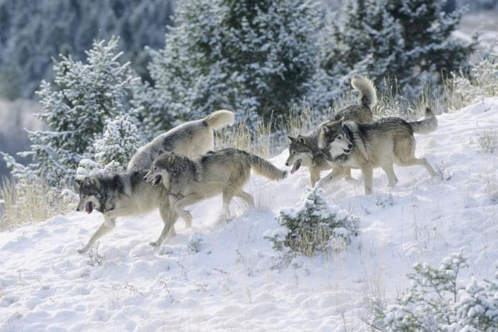 Gray wolf (Canis lupus) pack in the Rocky Mountains of Montana. Captive animal.