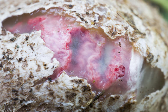 Suberumpent egg of an octopus stinkhorn fungus (Picture: Getty)