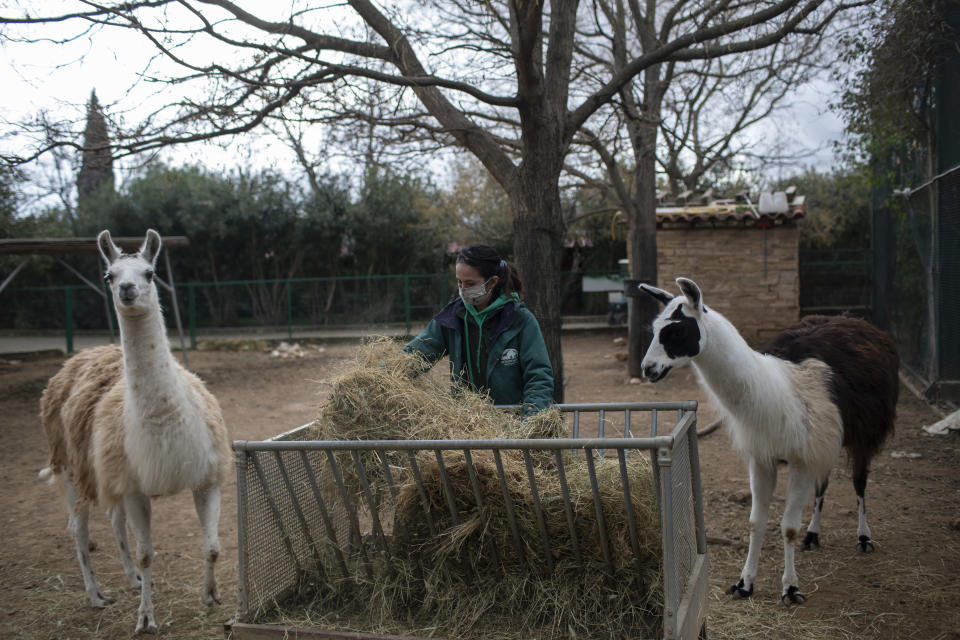 Zoo keeper Maria Malia prepares the food of two llamas in the Attica Zoological Park in Spata, near Athens, on Saturday, Jan. 23, 2021. After almost three months of closure due to COVID-19, Greece's only zoo could be approaching extinction: With no paying visitors or state aid big enough for its very particular needs, it still faces huge bills to keep 2,000 animals fed and healthy. (AP Photo/Petros Giannakouris)