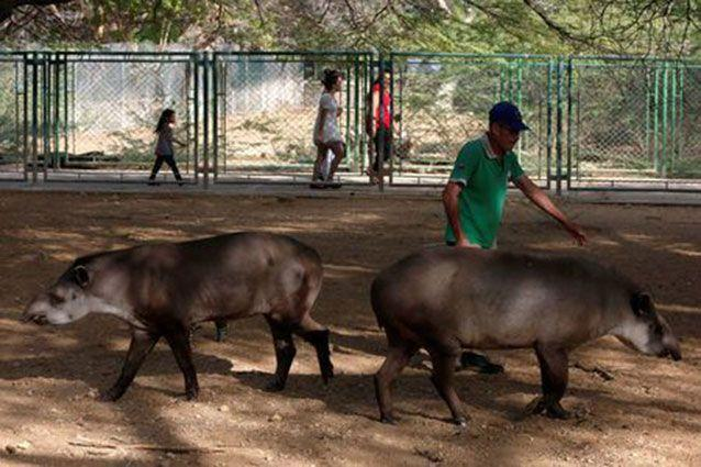 An employee walks with tapirs. Source: Reuters