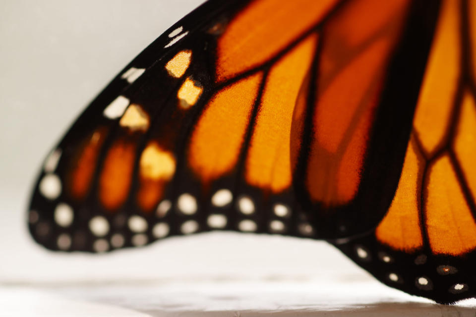 This photo shows a monarch butterfly wing soon after it emerged in Washington, Sunday, June 2, 2019. Farming and other human development have eradicated state-size swaths of its native milkweed habitat, cutting the butterfly's numbers by 90% over the last two decades. It is now under considered for listing under the Endangered Species Act. (AP Photo/Carolyn Kaster)