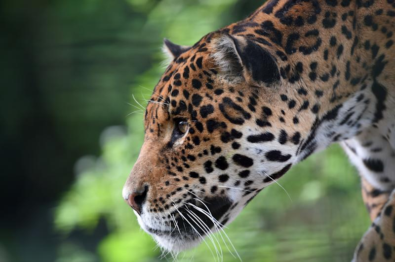 A Jaguar Escaped From Its New Orleans Zoo Habitat And Killed At Least Eight  Other Animals