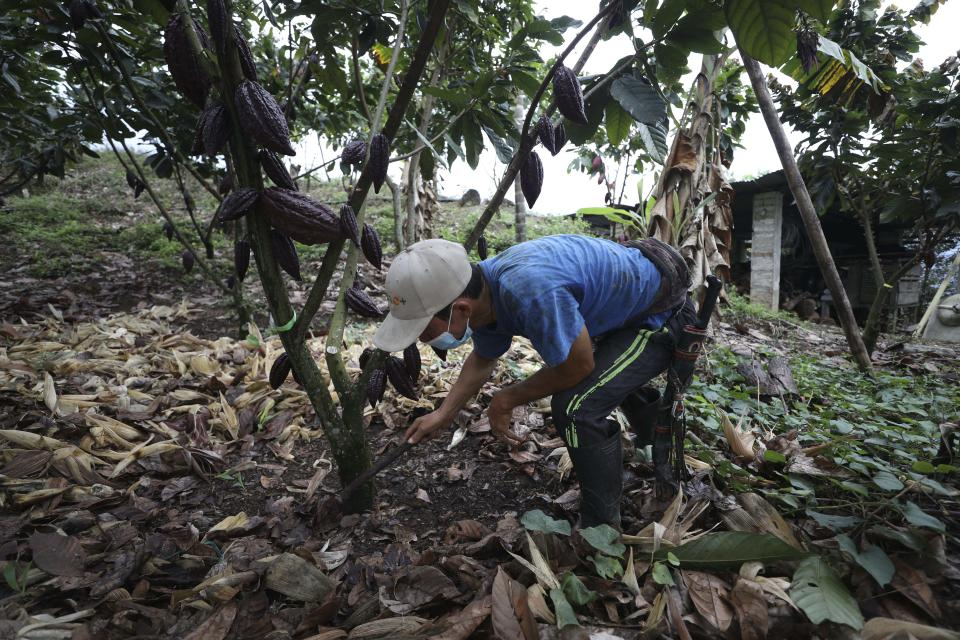 A farmworker wearing a mask to curb the spread of the new coronavirus, services cocoa tree at a farm in Campohermoso, Colombia, Thursday, March 18, 2021. According to the Health Ministry, Campohermoso is one of two municipalities in Colombia that has not had a single case of COVID-19 since the pandemic started one year ago. (AP Photo/Fernando Vergara)