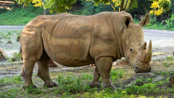 On World Rhino Day, Sept. 22, 2020, Disney's Animal Kingdom announced three rhinos in the Walt Disney World Resort theme park's herd are pregnant. Kendi, pictured above, is expected to deliver a calf in October. (Disney)
