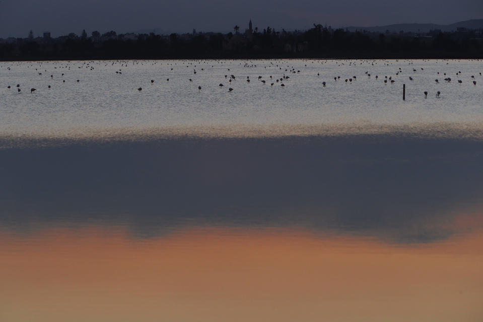 Flamingos search for food at a salt lake in the southern coastal city of Larnaca, in the eastern Mediterranean island of Cyprus, Thursday, Dec. 28, 2020. Conservationists in Cyprus are urging authorities to expand a hunting ban throughout a coastal salt lake network amid concerns that migrating flamingos could potentially swallow lethal quantities of lead shotgun pellets. (AP Photo/Petros Karadjias)