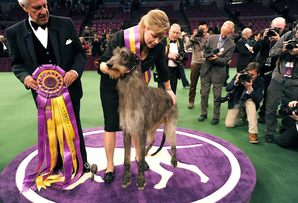 <p>This Scottish deerhound named Hickory is super tall and just looks like a winner, right?</p>