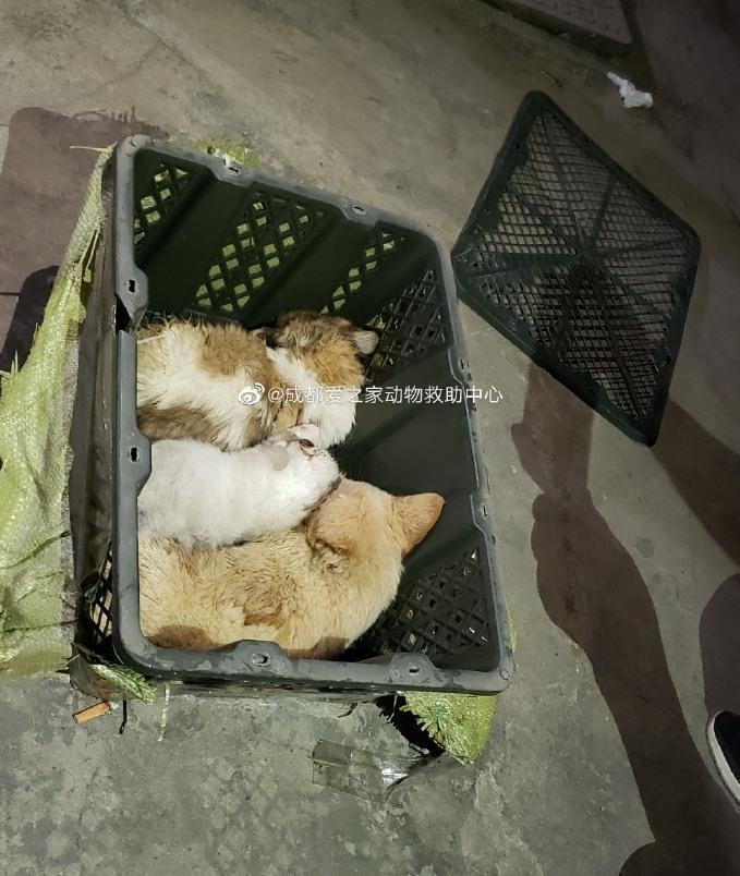 Animal rescue volunteers said they found hundreds of puppies and kittens closely packed together, many of them struggling to breathe. / Credit: Chengdu Love Home Animal Rescue Center / Weibo