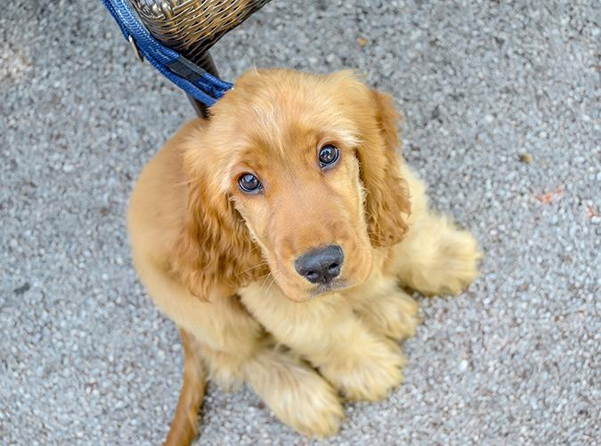 <h2>Cocker Spaniel</h2> <p>Playful and sweet, these guys are known for being super happy campers that are calm and cheerful with both guests and other animals.</p>