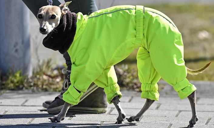 A whippet is warmed by a scarf and a green suit