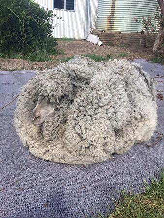 A sheep with massively overgrown fleece looks on in Warrumbungle, New South Wales, Australia, July 20, 2018, in this picture obtained from social media. Graeme Bowden/via REUTERS