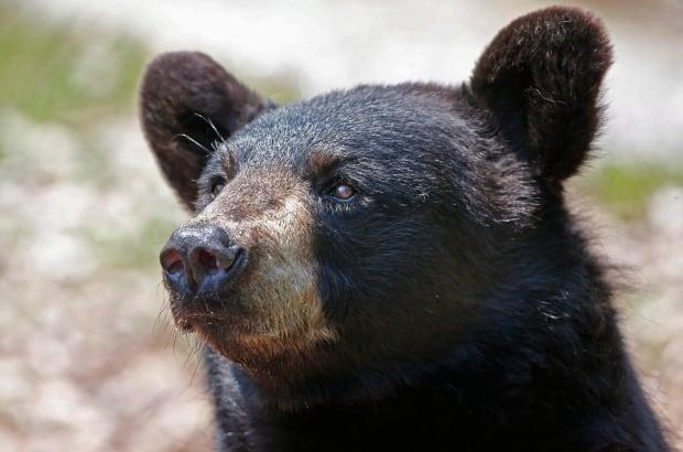 A woman from Whistler, B.C. was convicted and sentenced for feeding black bears in her neighbourhood during the summer of 2018. (Robert F. Bukaty/The Associated Press - image credit)