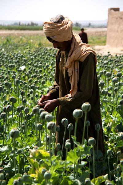 Afghanistan is the world's top grower of opium, and the crop accounts for hundreds of thousands of jobs