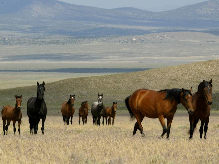 <p>A group of wild horses walks through a field on 7 July 2005 in Eureka, Nevada</p> ((Getty Images))
