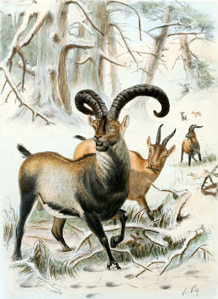 <p>The Pyrenean Ibex officially went extinct in 2000, before being 'resurrected' nearly a decade later in 2009. Scientists used DNA taken from preserved epidermal samples to create a clone of a female Pyrenean Ibex, which was able to make it through gestation and even birth before dying shortly after of lung deformities.</p><p><strong>Cause of Extinction:</strong> extensive hunting during the 19th century.</p>