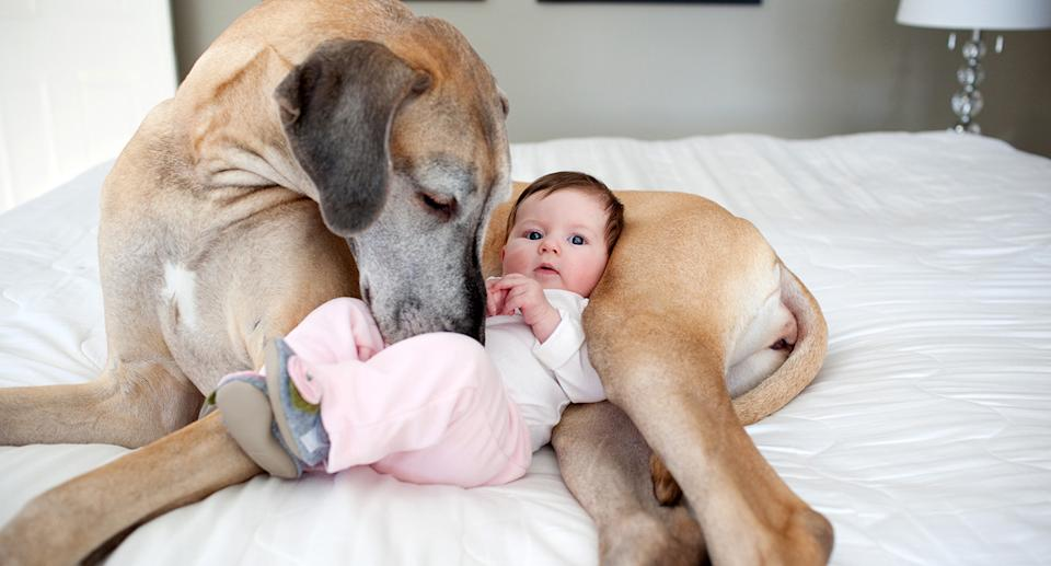 A baby snuggled with a Great Dane. Source: Getty Images