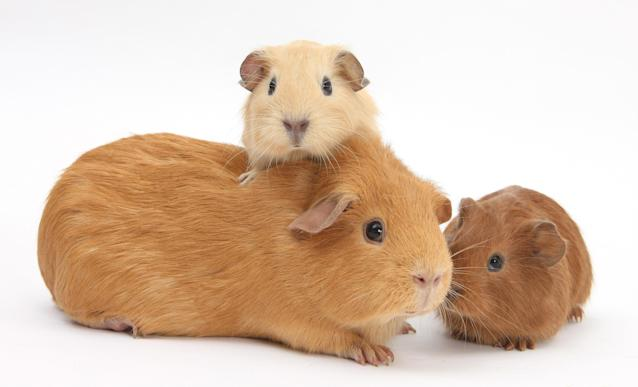 <p>Mother guinea pig with two babies. (Warren Photographic/Mercury Press) </p>