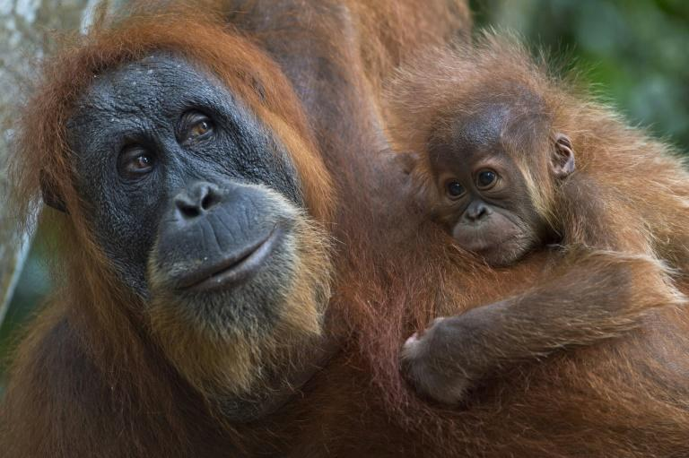 The Sumatran orangutan is a critically endangered species with just 7,500 in existence, according to the World Wildlife Fund