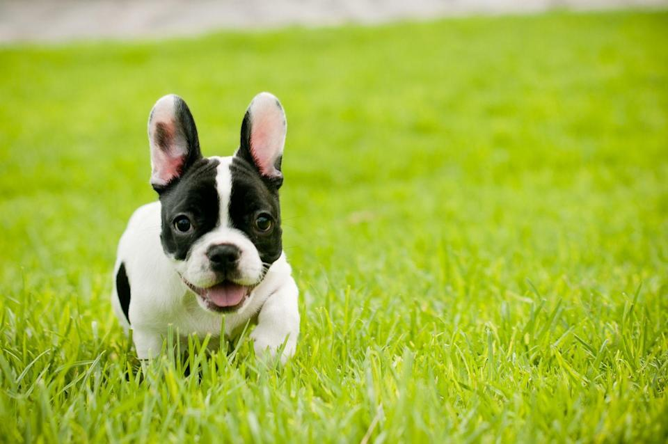 """<p>This small pooch is a fraction of the size of an English Bulldog. The latter can <a href=""""https://dogtime.com/dog-breeds/bulldog#/slide/1"""" rel=""""nofollow noopener"""" target=""""_blank"""" data-ylk=""""slk:weigh up to 50 pounds"""" class=""""link rapid-noclick-resp"""">weigh up to 50 pounds</a>, while <a href=""""https://dogtime.com/dog-breeds/french-bulldog#/slide/1"""" rel=""""nofollow noopener"""" target=""""_blank"""" data-ylk=""""slk:French Bulldogs ring in at 16 to 28 pounds"""" class=""""link rapid-noclick-resp"""">French Bulldogs ring in at 16 to 28 pounds</a>, according to Dogtime.com. They are a little bigger than toy breeds like Chihuahuas or Yorkies, but owning a French Bulldog is a great way to get that classic wrinkled bulldog look in a smaller dog.</p>"""