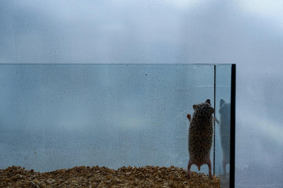 A hedgehog stands up in a glass enclosure at the Harry hedgehog cafe in Tokyo, Japan, April 5, 2016. In a new animal-themed cafe, 20 to 30 hedgehogs of different breeds scrabble and snooze in glass tanks in Tokyo's Roppongi entertainment district. Customers have been queuing to play with the prickly mammals, which have long been sold in Japan as pets. The cafe's name Harry alludes to the Japanese word for hedgehog, harinezumi. REUTERS/Thomas Peter