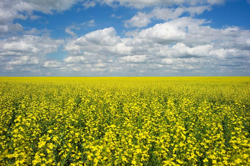 FILE PHOTO: A canola crop used for making cooking oil sits in full bloom near Fort Macleod, Alberta, Canada