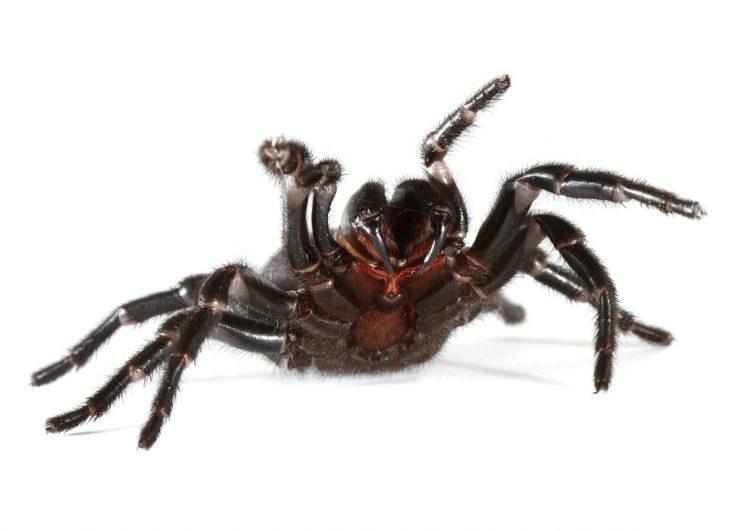 The deadly funnel web spider (Rex)